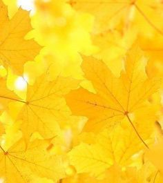 ༺♥༻Fall - the brilliant, distinctive, glowing golden yellow of the Maple tree༺♥༻ Yellow Aesthetic Pastel, Rainbow Aesthetic, Aesthetic Colors, Mellow Yellow, Orange Yellow, Color Yellow, Yellow Sun, Neon Yellow, Yellow Theme
