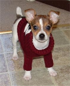 how cute! toy fox terrier, sweater for winter, hes ready!