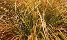 NEW ZEALAND WIND GRASS ft Gorgeous, fast growing, tough as nails, Anemanthele lessoniana or Stipa arundinacea (Pheasant's Tail Grass) is an elegant and impressive ornamental grass that has become a favorite of landscape designers and gardeners. Plants For Planters, Shade Plants, Cool Plants, Garden Plants, Ornamental Grass Landscape, Ornamental Grasses, Acid Loving Plants, Gardening Magazines, Cover