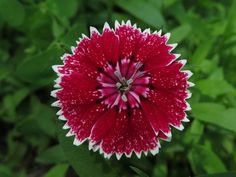 Dianthus is a genus of flowers that includes about 300 species. This specimen, photographed in Northern Illinois, appears to belong to the Dianthus barbarous species, commonly called Sweet William.