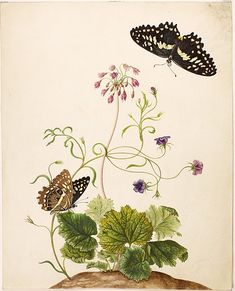 Watercolor of Cortusa matthioli, Campanula rotundifolia, swallowtail butterflies of the genus Cavaliers (Papilio demoleus). After 1705. Maria Sibylla Merian: Leningrader Aquarelle. Leipzig, 1974. Bd.1. Taf.9