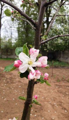 little apple blossom