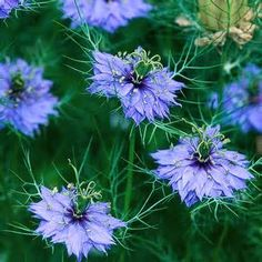 Nigella  - in the UK also rather sweetly called 'Love in a Mist'  or 'Ragged Lady' Also comes in white or mauve varieties.