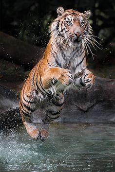 **Jump by Woe Hendrik Husin. Les tigres étaient estimés à 100 000 au XIXème siècle mais ils sont aujourd'hui en voie d'extinction. Voir http://tigreland.e-monsite.com/pages/venir-en-aide/les-causes-de-la-disparition-des-tigres.html sur les causes de leur disparition.