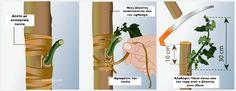 Πως να κανετε εμβολιασμο (μπόλιασμα) σε καρποφόρα δέντρα στην κήπο σας - Εμβολιασμός Τύπου Τ - Τελευταίο Κλάδεμα Garden Guide, Nature, Plants, Gardening, Gardens, Naturaleza, Lawn And Garden, Plant, Nature Illustration
