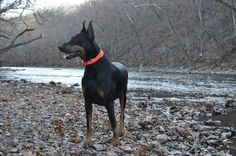 Doberman Pinscher, Bulleit
