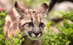 Mountain Lion Kitten Tué sur Freeway quelques semaines seulement après sa mère  Les écologistes pleurent la perte d'un lion de montagne chaton de qui a été mortellement frappé sur une autoroute à peine quelques semaines après que sa mère a subi le même sort à proximité.