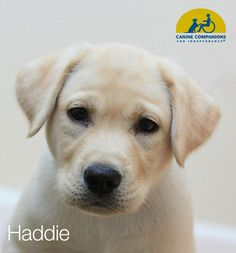 I am a volunteer Puppy Raiser for Canine Companions for Independence. This is our first puppy, Haddie