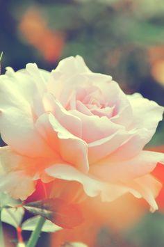 淡いピンク色の薔薇(ステンレススチール)