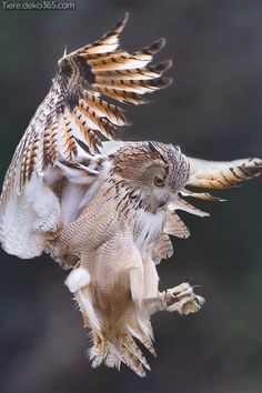 Great horned owl coming in for a landing : Owls - Eule Beautiful Owl, Animals Beautiful, Cute Animals, Beautiful Pictures, Owl Photos, Owl Pictures, Owl Bird, Pet Birds, Angry Birds