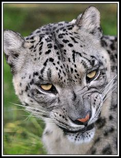 i love snow lepards | Snow Leopard snarling | Flickr - Photo Sharing!