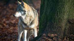 Ein Wolf (Canis lupus) am 23.11.2012 in seinem Gehege im Tierpark Kunsterspring der Fontanestadt Neuruppin (Brandenburg) (Quelle: dpa)