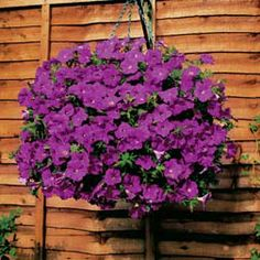 Petunia x hybrida - half hardy annual used for bedding