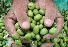 Nueva publicación en nuestro blog, Joan González-Bueno Uribe,  propietario y fundador de Tierra Callada nos explica la calidad de su maravilloso AOVE 👌. ¿Conocíais todo el proceso hasta conseguir el AOVE? Aquí os dejamos el enlace para despejar vuestras dudas. 👇  #FilipinanMarket #filipinan #gourmet #tierracallada #aove #blog Blog, Fruit, Vegetables, Gourmet, Earth, Veggie Food, Vegetable Recipes, Veggies