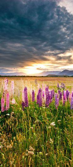 Lake Tekapo Lupines Landscape - Mckenzie Summer - NZ