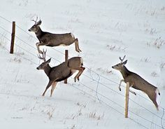 Three Mule Deer Bucks Jumping Fence by Sam Sherman in Wildlife on Photography By Sherman's Store