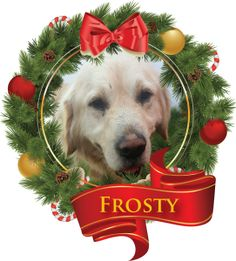 This is Frosty - 3 yrs. He is a rescue from Turkey. He is neutered, current on vacciantions, needs a stay at home parent, a 6 ft fence and no kids under 8 yrs old. GRR of The Rockies, CO. - http://www.goldenrescue.com/component/hikashop/product/470-frosty-istanbul-available-after-12-20-16