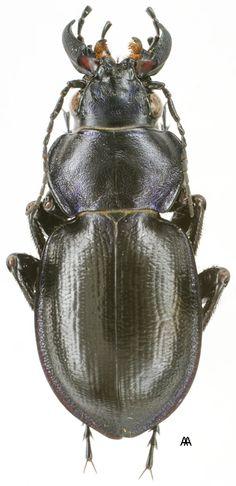 Calosoma (Callisthenes) kuschakewitschi kuschakewitschi s.str.