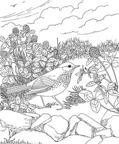 Free Printable Coloring Page...Vermont State Bird and Flower, Hermit Thrush, Red Clover, educational printables