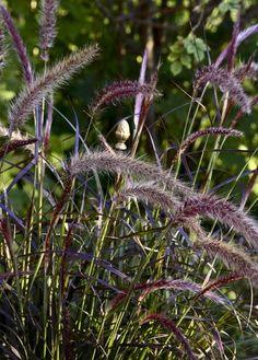 Pennisetum Setaceum, Japanese Garden Landscape, Grass Weeds, Gothic Garden, Greenhouse Gardening, Enchanted Garden, Ornamental Grasses, Garden Projects, Garden Ideas