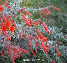 Catalina California Fuschia (Zauschneria californica 'Catalina' (syn. Epilobium canum)) - Monrovia - Catalina California Fuschia (Zauschneri...