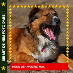 Harzer Fuchsmix Max Oh mein Gott bin ich müde! Bringt mir bitte mal jemand einen Kaffee?  #Hund: Max / Rasse: #Harzer Fuchsmix      Mehr Fotos: https://magazin.dogs-2-love.com/hund-der-woche/harzer-fuchsmix-max/ Foto, Hund, schlafen, Spaß