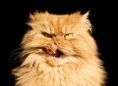 """Garfi le chat, mieux connu sous le surnom de """"Chat le plus grognon du monde"""" est un adorable monstre roux tout bougon qui est vite devenu la sensation du…"""