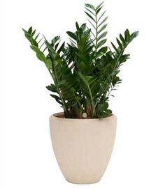 Grote zamioculcas planten met pot