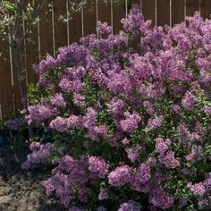 Bloomerang Purple Lilac bush....please put lilac somewhere it smells so good