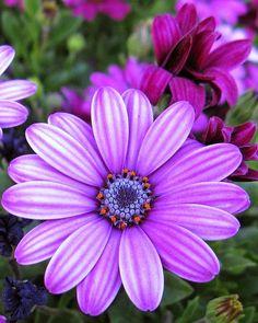 100 Pcs A Pack African Blue Eyed Daisy Plantas Osteospermum Plants Garden Plant Bonsai Mix Flower Amazing Flowers, My Flower, Purple Flowers, Beautiful Flowers, Purple Daisy, Daisy Flowers, Flower Pictures, Flower Images, Flowers Nature