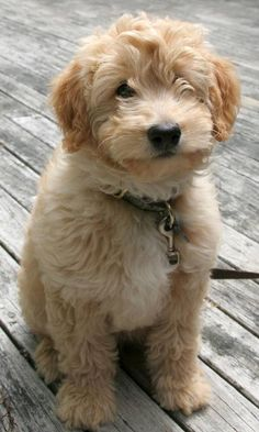 goldendoodle puppy :) birthday treat for hays? Cute Puppies, Cute Dogs, Dogs And Puppies, Doggies, Baby Animals, Cute Animals, Doodle Dog, Goldendoodles, Labradoodles