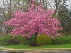 Kwanzan Cherry Trees - double pink blossoms - 30' h and w
