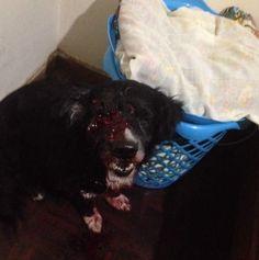 """Funcionarios del Servicio Bolivariano de Inteligencia (Sebin) dispararon en el ojo a un perro durante el allanamiento a un departamento en Los Verdes, en El Paraíso, al oeste de la ciudad. El hecho fue denunciado por una familiar de la dueña de la mascota. """"Estaba mi mamá sola y le dispararon a su perro en ..."""
