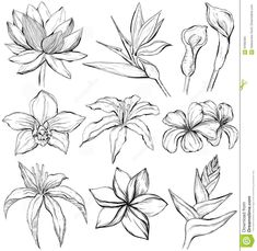 Tropical Flowers – Sketch Style Stock Vector – Illustration of sketch, clematis: 97692464 – Modern Flower Tattoo Foot, Small Flower Tattoos, Flower Tattoo Shoulder, Tattoo Flowers, Tattoo Bird, Tattoo Floral, Tropical Flowers, Tropical Flower Tattoos, Orchid Flowers