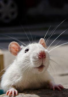 Rats, It's Monday!