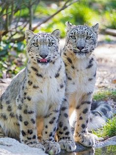 Snow leopards these are very rare now and some bastards would kill them for their fur and wear them regardless of the fact they are driving this wonderful cat to extinction - DON'T WEAR REAL FUR SAVE LIVES