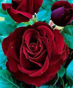 belle fleure rouge