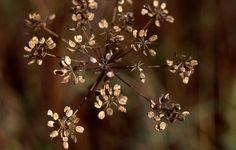 2012 syyskuun puoliväli Praktica & Pancolar 008 Dandelion, Flowers, Plants, Dandelions, Plant, Taraxacum Officinale, Royal Icing Flowers, Flower, Florals