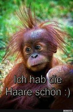 'It is okay for me to have a bad hair day - it is called cute' - Baby Orangutan Primates, Mammals, Beautiful Creatures, Animals Beautiful, Cute Baby Animals, Funny Animals, Monkey See Monkey Do, Baby Orangutan, Sumatran Orangutan