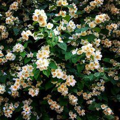 Жасмин / Jasmine #spb #saintpetersburg #stpetersburg #pushkin #flowers #nature #white #green #jasmine #foto #спб #санктпетербург #питер #пушкин #цветы #жасмин #белый #зеленый #природа  #природагорода #мойгород #фото