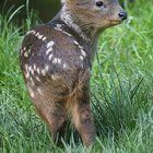 A baby Pudu the worlds smallest deer