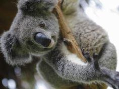 5 curiosidades sobre los koalas