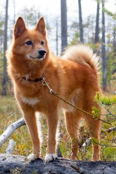 Most Dog Lovers Don't Even Know These Rare Breeds That Make the Best Pets - - Most Dog Lovers Don't Even Know These Rare Breeds That Make the Best Pets Tierwelt Finnischer Spitz – Seltene Hunderassen Rare Dogs, Rare Dog Breeds, Cute Dogs Breeds, Spitz Dogs, Spitz Dog Breeds, Especie Animal, Airedale Terrier, Bull Terriers, Beagle Dog