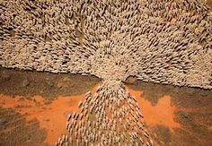 A flock of sheep moving to another field through a narrow gate. This sure puts into perspective how many sheep the shepherds in the Bible looked after! And Christ himself. And he still goes to find the one lost sheep! Sheep Farm, Sheep And Lamb, Colors Of The World, Le Morse, Foto Nature, Tier Fotos, No Photoshop, Birds Eye View, Aerial Photography