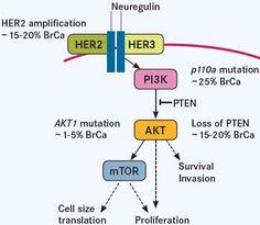 Activation of PI3K/AKT/mTOR Pathway