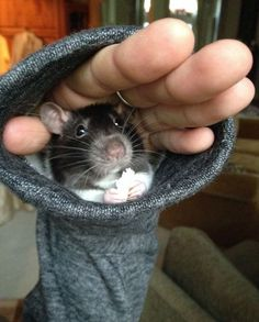 Melissa Mermaids little fur baby Oml in the sleeve Funny Rats, Cute Rats, Cute Baby Animals, Animals And Pets, Funny Animals, Cute Creatures, Beautiful Creatures, Cute Mouse, Rodents