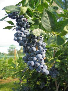 duke blueberry bushes - Bing Images