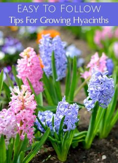 Are you planting hyacinth bulbs this fall? Use these gardening tips for Growing Hyacinths to grow beautiful, thriving hyacinth flowers with gorgeous blooms around your home and garden.