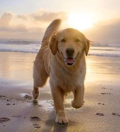 My two favorite things, Golden Retrievers and the beach.