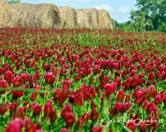 Country field, clover flowers.